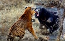 В Индии в объектив камеры попала схватка тигра и медведя-губача: стал известен победитель