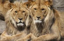 В Австралии львы напали на сотрудницу зоопарка: женщину нашли без сознания