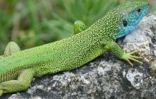 Ученые обнаружили рептилий с зеленой токсичной кровью