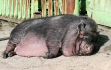 Вьетнамские свиньи сгрызли 80-летнего пенсионера в Николаевской области - детали инцидента