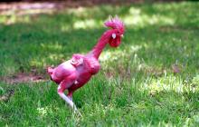 В Израиле вывели лысых кур: такое лучше не видеть