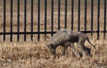 Чупакабра не так страшен: в Сети опубликовано видео с загадочным животным