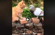 Неравная схватка кота и голубя повеселила Сеть: драка хвостатого с пернатым закончилась неожиданно – видео