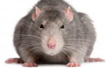 Крыса карандашом обезвредила ловушку, перехитрив человека - видео впечатлило Интернет