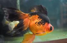 Золотая рыбка погибала, но новый владелец ее спас: кадры с выжившей Монстро собрали миллионы просмотров