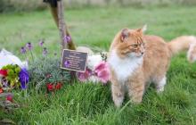 Посетил более 100 похорон: история о необычном коте Пэдди