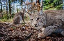 В лесах Чернобыля обнаружили необычное животное