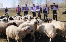 Ученые поставили эксперименты на овцах - те поразили своим интеллектом