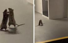 Сеть удивила реакция кота, смотревшего за дракой двух крыс: от животного ждали совсем другого