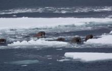 В Арктике моржи атаковали Северный флот РФ и утопили десантный катер