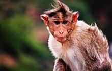 В Индонезии обезьяна на мотоцикле пыталась украсть ребенка: трагедии избежали лишь чудом, видео