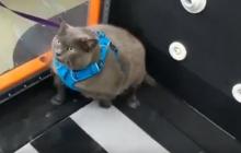 Кошку Шлакоблок привели в спортзал для похудения: видео, что из этого вышло