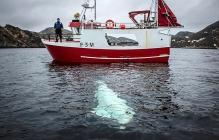 """""""Кит-шпион"""", пойманный в Норвегии, категорически отказывается уплывать обратно в Россию – кадры"""