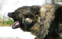 Названы 5 самых агрессивных пород собак: кого нужно остерегаться на улице, фото