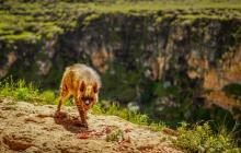 Турецкий фотограф поймал в объектив гиену, вид которой на грани исчезновения: кадры