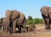 В Африке беспрецедентная ситуация с массовым мором слонов – ученые подозревают худшее