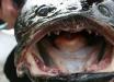 США атакуют рыбы-змееголовы: от этих монстров нет спасения