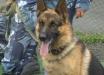 """В России полицейские устроили служебной собаке жестокую """"тренировку"""": видео издевательского забега появилось в Сети"""