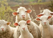 В Лондоне приключился скандал со студентами-ветеринарами: снялись голыми с овцами - фото