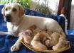Зеленый щенок, родившийся у белого ретривера, заставил всех раскрыть рты от удивления