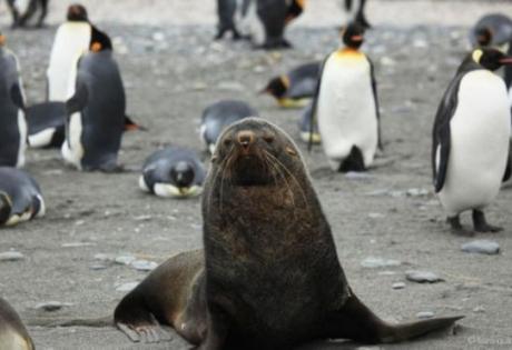 Американские ученые озадачены тем, что морские котики спариваются с пингвинами