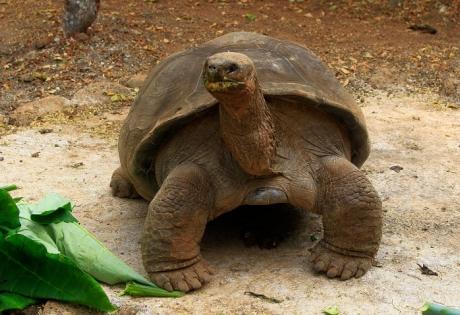слоновая черепаха, Миссионер Пепе, Галапагосские острова