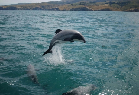дельфин, мауи, общество, вымирание, красная книга, новая зеландия, мир животных, новости