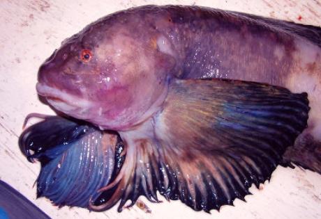 рыба, марианская впадина, тихий океан, рекорд, глубоководные рыбы