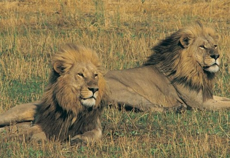 природа, львы, наука, среда обитания, правила выживания