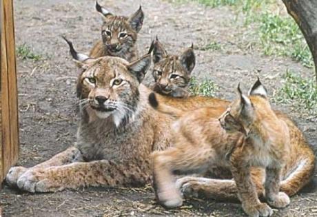 рыси, медведи, волки, крупные хищники, европа