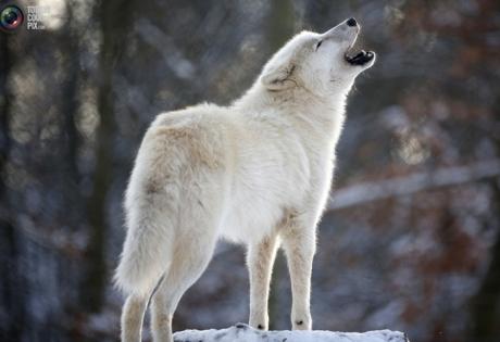 волк, стая, степь, волчата