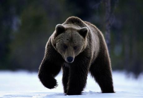 медведи, чернобыль, животные, возвращение