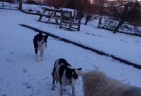 овца, колли, пет